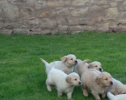lfo M/F Clean Golden Retreiver Available Now