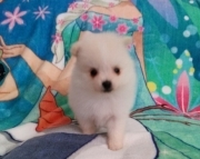 ldhyd M/F Clean and smart POMERANIAN PUPPIES