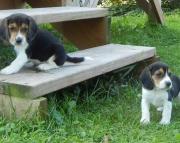 kshd M/F Clean and smart beagle puppies