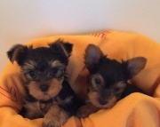 lddoi M/F Clean Yorkshire Terrier Available Now