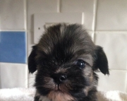 hgdgd M/F Nice and Calm Lhasa Apso Puppies