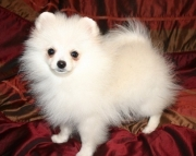 loikdd M/F Clean and smart POMERANIAN PUPPIES