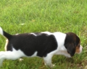 bhyt M/F Clean and smart beagle puppies