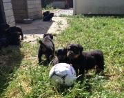 lidud M/F Clean and smart Rottweiler puppies