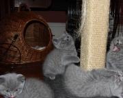 ludud Nice Blue British Shorthair Kittens