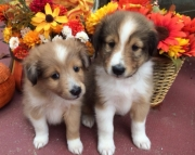 akc sheltie puppies for sale