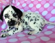 stormy-female baer tested (akc) dalmatian puppy