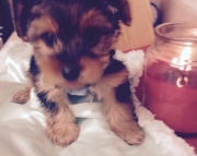 AKC registered Yorkie puppies!! Ready to go now!!