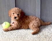 Teddy Bear Goldendoodle Puppies