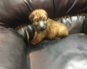Soft Coated Wheaten Terrier Puppies!