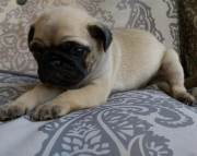 akc champion grand sired pug puppies