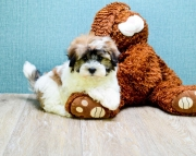 Havanese Puppies for sale!!