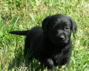 Beautiful Akc Black Labrador Pups~