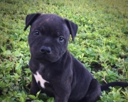AKC Staffordshire Bull Terrier puppies