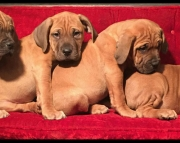 AKC Dogue de Bordeaux puppies