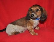 akc miniature dachshund puppy