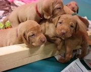 Precious Hungarian Vizsla Puppies for sale