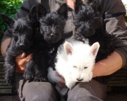 Scottie Terrier Pups For Sale.