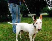 Male and Female Pair of Bull Terriers