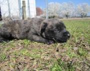 Dutch Shepherd puppies working bloodline 1 male left