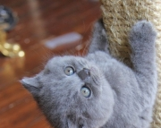 lsdidg Nice Blue British Shorthair Kittens