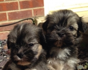 mnkddi M/F Nice and Calm Lhasa Apso Puppies