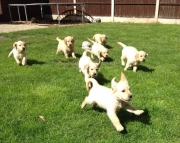 njdgdu M/F Clean Golden Retreiver Available Now