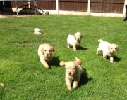 ldjhhf M/F Clean Golden Retreiver Available Now