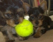 ljdhud M/F Clean Yorkshire Terrier Available Now