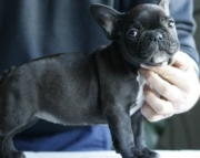 khdyd M/F Clean and Nice French BulldogS
