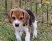 ljdod M/F Clean and smart beagle puppies