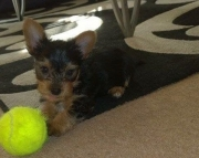 jddui M/F Clean Yorkshire Terrier Available Now