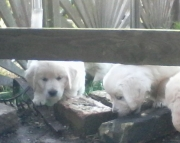liyte M/F Clean Golden Retreiver Available Now