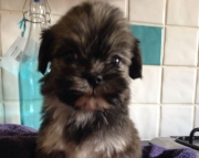 ndyd M/F Nice and Calm Lhasa Apso Puppies