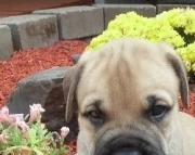Jerry Bullmastiff Puppies For Sale