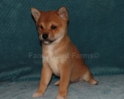 Foresighted Shiba Inu Puppies for a new home2085573051
