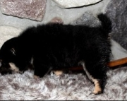 High-minded Shiba Inu Puppies for sale akc vet 2085573051