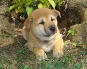 Fashionable Shiba Inu Puppies for sale akc ready2085573051