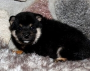 High-power Shiba Inu Puppies available for  A new home 2085573051