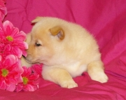 Huggable Shiba Inu Puppies for sale akc registered 2085573051