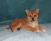 Hearty Shiba Inu Puppies ready for sale akc 2085573051