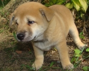 Commanding Shiba Inu Puppies for sale akc  vet 2085573051