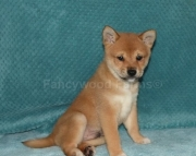 Happy-go-lucky Shiba Inu Puppies for Sale All Set 2085573051