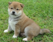 High-class, Shiba Inu Puppies for sale now akc vet 2085573051