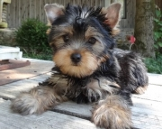 Buoyant, Yorkshire Terrier Puppies for sale akc vet2085573051