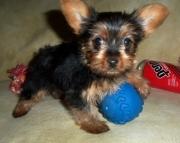 Brisk Teacup Yorkshire Terrier Puppies for sale akc vet2085573051