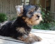 Burgeoning Teacup Yorkshire Terrier Puppies for sale akc vet2085573051