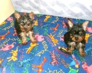 Bubbly Teacup Yorkshire Terrier Puppies for sale akc vet checked 2085573051