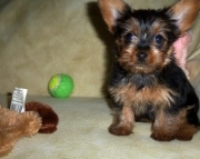 Brotherly Teacup Yorkshire Terrier Puppies for sale akc vet2085573051