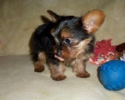 Brilliant Teacup Yorkshire Terrier Puppies for sale akc registered 2085573051